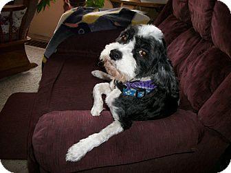Cocker Spaniel/Poodle (Miniature) Mix Dog for adoption in Minneapolis, Minnesota - Jonesey
