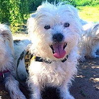 Westie, West Highland White Terrier/Terrier (Unknown Type, Small) Mix Dog for adoption in Santa Barbara, California - Charlie