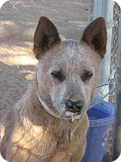 Australian Cattle Dog Dog for adoption in Las Cruces, New Mexico - Minnie