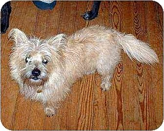 Cairn Terrier Dog for adoption in South Burlington, Vermont - Marshall