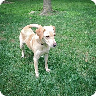 Labrador Retriever Mix Dog for adoption in Lewisville, Indiana - Daisy