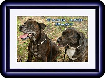 Labrador Retriever/Boxer Mix Dog for adoption in Sarasota, Florida - Baby