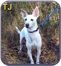 Whippet Mix Dog for adoption in Aldie, Virginia - TJ