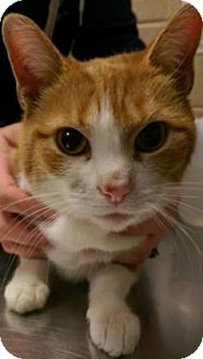 Domestic Shorthair Cat for adoption in Parma, Ohio - Clementine