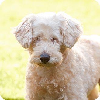 Wheaten Terrier Mix Dog for adoption in Coronado, California - Tina