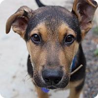 Adopt A Pet :: Bogart von Bottcher - Thousand Oaks, CA