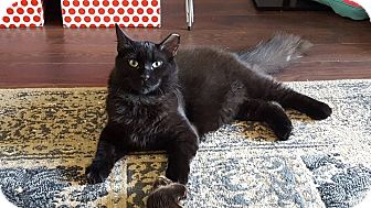 Domestic Longhair Cat for adoption in THORNHILL, Ontario - Snoop Catt