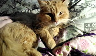 Domestic Longhair Cat for adoption in Mount Perry, Ohio - Katniss