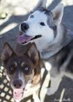 Siberian Husky Mix Dog for adoption in Canyon Country, California - Hamlet and Bonita