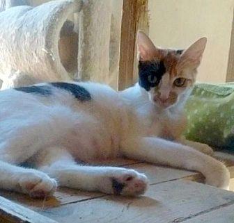 Calico Cat for adoption in Marina Del Ray, California - TINA TT