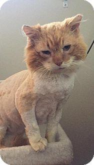 Domestic Mediumhair Cat for adoption in Denver, Colorado - Potato