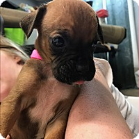 Adopt A Pet :: Madison - ST LOUIS, MO