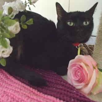 Domestic Shorthair/Domestic Shorthair Mix Cat for adoption in Milwaukee, Wisconsin - Mama - Hidden Treasure!