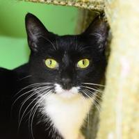 Domestic Shorthair/Domestic Shorthair Mix Cat for adoption in Suwanee, Georgia - Tuxie