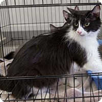 Adopt A Pet :: Willow - Merrifield, VA