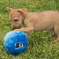 Adopt A Pet :: Marta - La Habra Heights, CA