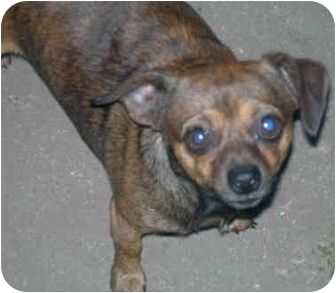 Chihuahua Mix Dog for adoption in Yorba Linda, California - Scruffy