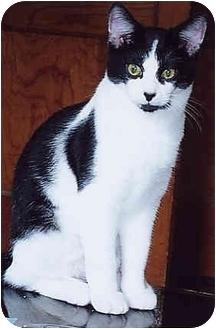 Domestic Shorthair Kitten for adoption in Owatonna, Minnesota - Jake