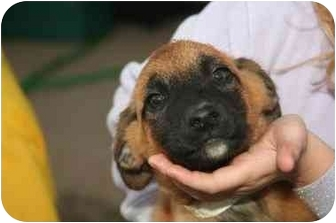 Boxer/Australian Shepherd Mix Puppy for adoption in Salem, New Hampshire - Candy