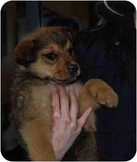 Shepherd (Unknown Type)/German Shepherd Dog Mix Puppy for adoption in Broomfield, Colorado - Brandy