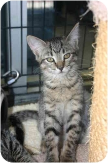 Domestic Shorthair Kitten for adoption in Tracy, California - Shelby-ADOPTED!