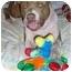 Photo 1 - American Pit Bull Terrier Mix Dog for adoption in La Habra, California - Titus