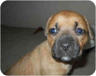 Labrador Retriever Mix Puppy for adoption in San Clemente, California - HOLLY