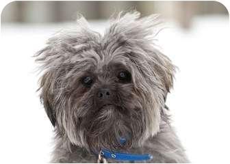 Shih Tzu Mix Dog for adoption in Ile-Perrot, Quebec - T.C.