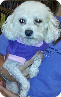 Poodle (Toy or Tea Cup) Mix Dog for adoption in Orland Park, Illinois - Petunia
