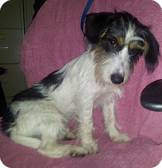 Jack Russell Terrier/Dachshund Mix Dog for adoption in Hammond, Louisiana - Scruffy