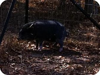 Pig (Potbellied) for adoption in Kaufman, Texas - Collin