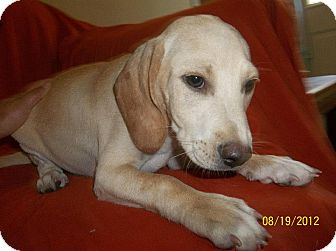 Beagle/Redbone Coonhound Mix Puppy for adoption in Conway, New Hampshire - Baylor
