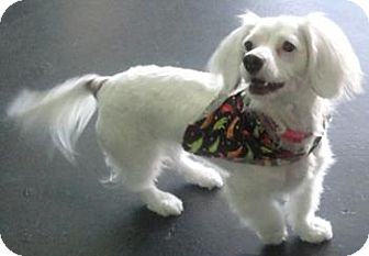 Dachshund Mix Dog for adoption in Goleta, California - Zoey