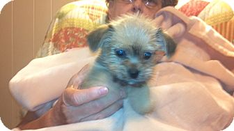 Yorkie, Yorkshire Terrier/Brussels Griffon Mix Puppy for adoption in Hazard, Kentucky - Sweetie Bear