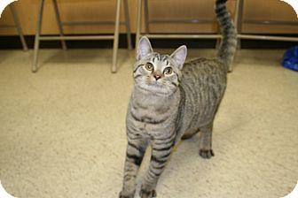 Bengal Cat for adoption in Allentown, Pennsylvania - Prancer