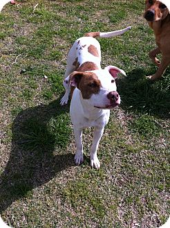 Terrier (Unknown Type, Medium) Mix Puppy for adoption in Dallas, Texas - Darla