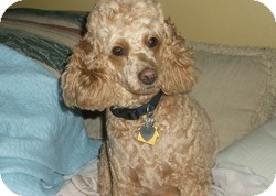 Poodle (Miniature) Dog for adoption in Melbourne, Florida - CANDY CANE