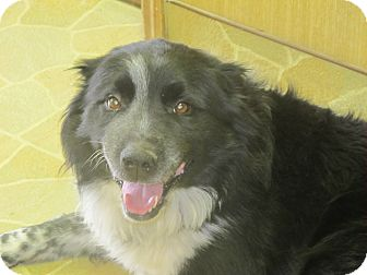 Border Collie/Collie Mix Dog for adoption in Allentown, Pennsylvania - Angus