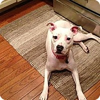 Adopt A Pet :: Lucy - Wednesday - Spring City, PA
