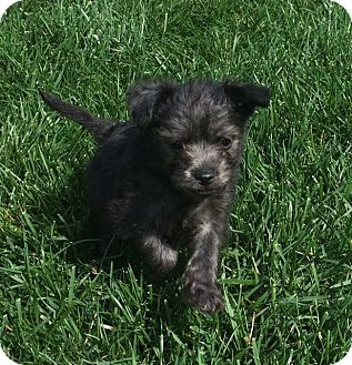 Chihuahua/Terrier (Unknown Type, Small) Mix Puppy for adoption in La Habra Heights, California - Rafa