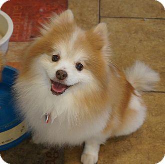 Pomeranian Dog for adoption in conroe, Texas - Girlie