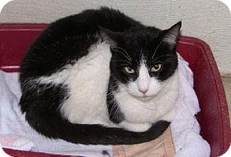 Domestic Shorthair Cat for adoption in Wetumpka, Alabama - #80201B 'Freddy'