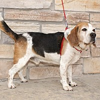 Beagle Mix Dog for adoption in Norman, Oklahoma - Max