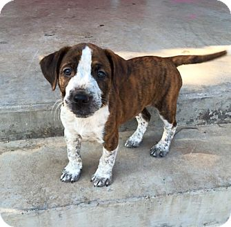 Catahoula Leopard Dog/Labrador Retriever Mix Puppy for adoption in Wichita Falls, Texas - Frank