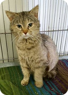 Domestic Mediumhair Cat for adoption in Owenboro, Kentucky - PEBBLES!