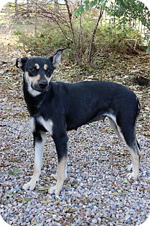 Shepherd (Unknown Type) Mix Dog for adoption in Westminster, Colorado - Mariana