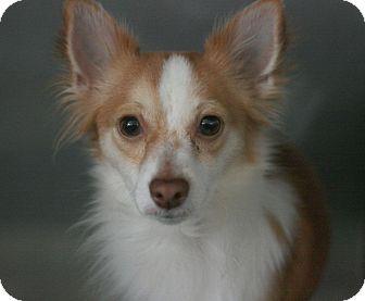 Papillon Mix Dog for adoption in Canoga Park, California - Sammy