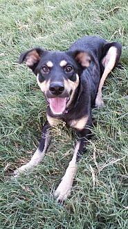 Shepherd (Unknown Type) Mix Dog for adoption in Olympia, Washington - Charolette