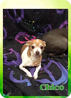 Chihuahua/Yorkie, Yorkshire Terrier Mix Dog for adoption in Tomah, Wisconsin - Chico