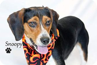 Beagle Mix Dog for adoption in Laingsburg, Michigan - Snoopy - Beagle